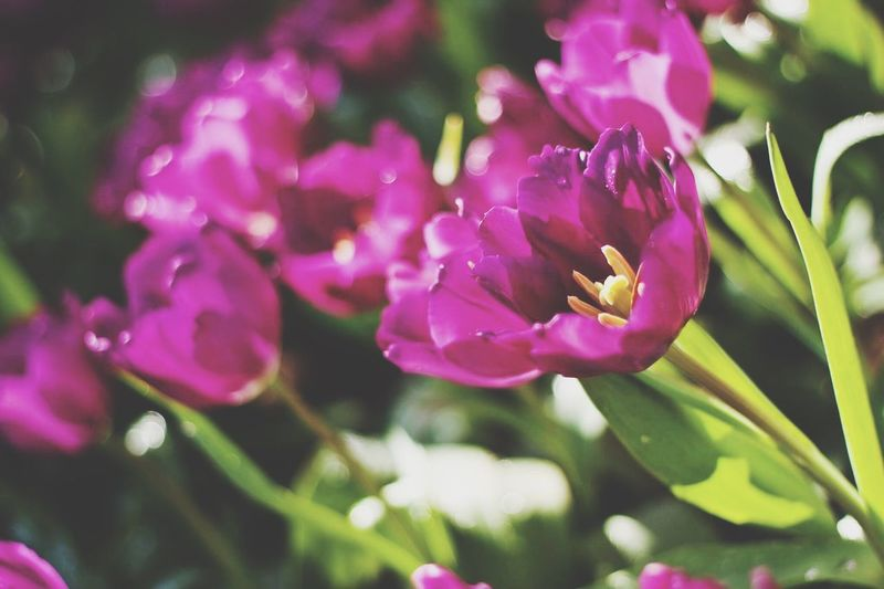 Tulips Flower Petal Beauty In Nature Nature Fragility Growth Flower Head Plant Freshness No People Blooming Close-up Outdoors Day