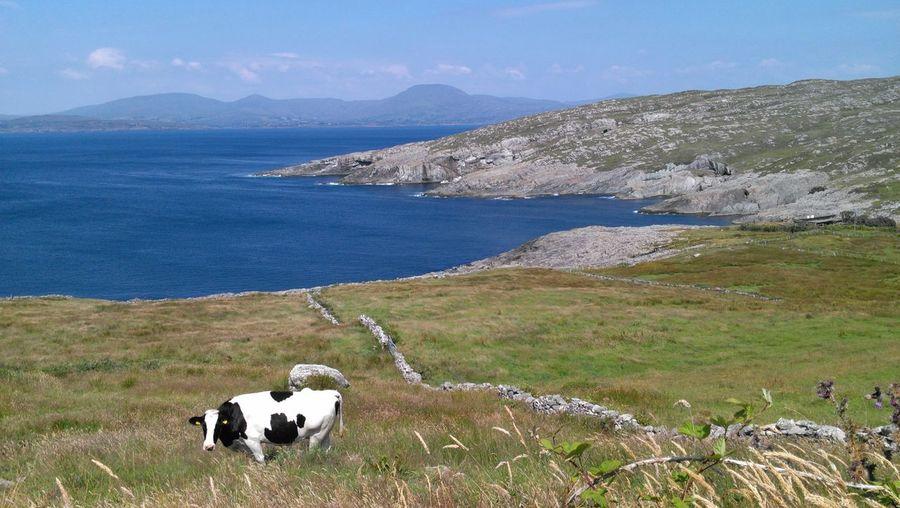 Cow on grassy field near sea
