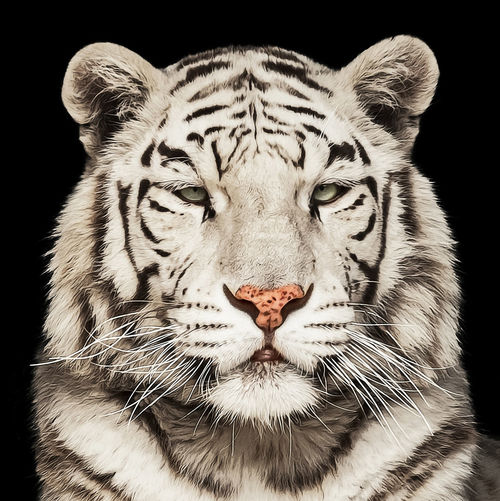 Animal Animal Head  Animal Themes Animal Wildlife Animals In The Wild Big Cat Black Background Carnivora Cat Close-up Feline Looking At Camera Mammal No People One Animal Portrait Studio Shot Tiger Whisker White Tiger 威严 注视 漂亮 装饰