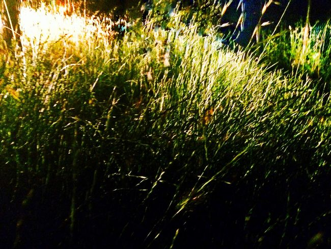 Grass Growth Nature Field Sunlight Plant Outdoors Agriculture Day Beauty In Nature Close-up Freshness