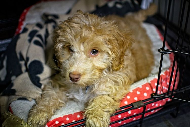 puppy laying in cage Animal Hair Animal Themes Cage Close-up Cute Day Dog Domestic Animals In Cage, In Bedding Indoors  Laying Down Looking At Camera Mammal No People One Animal Pets Portrait Relaxation