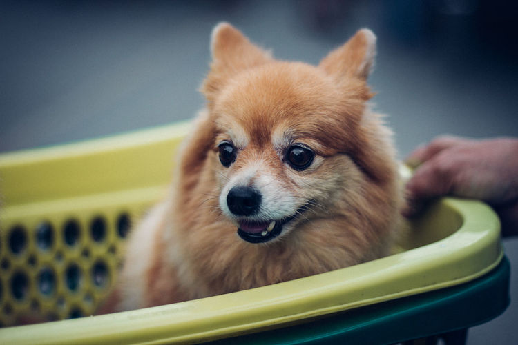 Dog Smile Chihuahua - Dog Chiwawa Puppy Dog One Animal Pets Puppy Selective Focus Small Young Animal