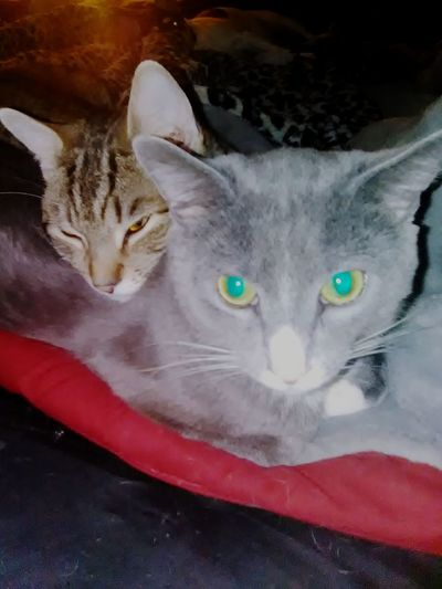 Inseparable Pets Portrait Feline Looking At Camera Domestic Cat Whisker Close-up Cat At Home
