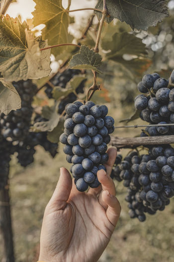 Cropped image of hand holding grapes