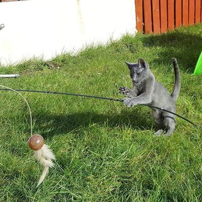 Molly using her fishing rod 😄😙🌞💚 Russianbluesofinstagram Russianbluekitten RussianBlue Russianbluecat Instacat Instakitty Greycat Silvercat Bluecat Cat_features ロシアンブルー Propetsfeature Catstocker Catstock Excellent_cats Rosyjskiniebieski Russischblau Gats Gatos Azulruso Catsmosh N1cecats Thedailykitten Kot Kotek kotka hussycatspetoftodaykotki