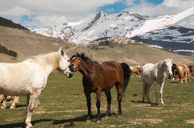 Portrait of funny horses in love near Castelluccio di Norcia, Umbria, Italy Castelluccio Di Norcia FUNNY ANIMALS Farm Horses Horses In Love Love Mare Mustang Rural Stallion Animal Animal Themes Animal Wildlife Crazy Moments Equestrian Equine Group Of Animals Landscape Livestock Mane Mountain Scenics - Nature Snow Village Western