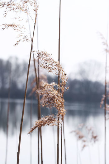 Close-up of snow on dry grass against sky