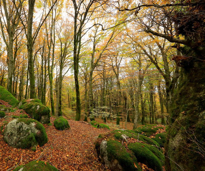Beech forest in autumn weather, the bare trees and a bed of dry leaves in the path on the ground. The warm colors of autumn in the undergrowth of this great panoramic large-format photograph. Composition of multiple images. Tree Forest Plant Land Tranquility Nature Tranquil Scene Beauty In Nature Scenics - Nature No People WoodLand Non-urban Scene Day Growth Environment Tree Trunk Outdoors Landscape Trunk Autumn Change Foliage Colors Of Autumn Autumn