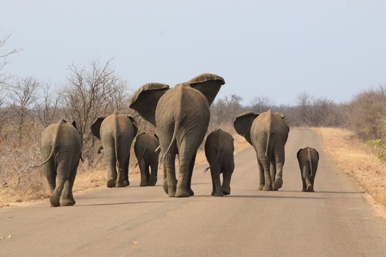 Rear view of elephants walking on road