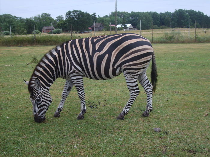 Zoo Animal Themes Animal Wildlife Animals In The Wild Beauty In Nature Day Field Grass Mammal No People One Animal Outdoors Safari Animals Zebra