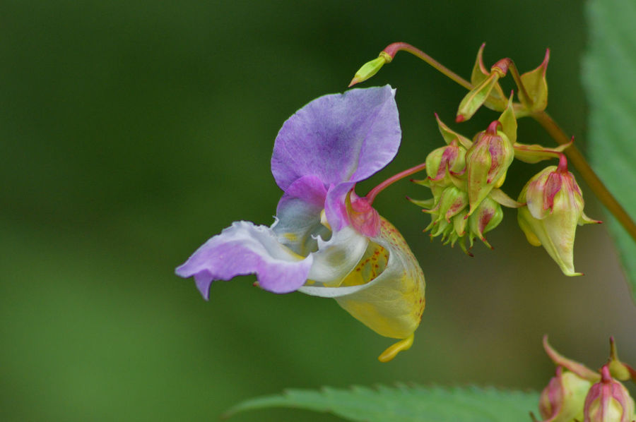 Balsam Beauty In Nature Blooming Close-up Day Flower Flower Head Fragility Freshness Growth Himalayan Balsam Nature No People Outdoors Petal Plant