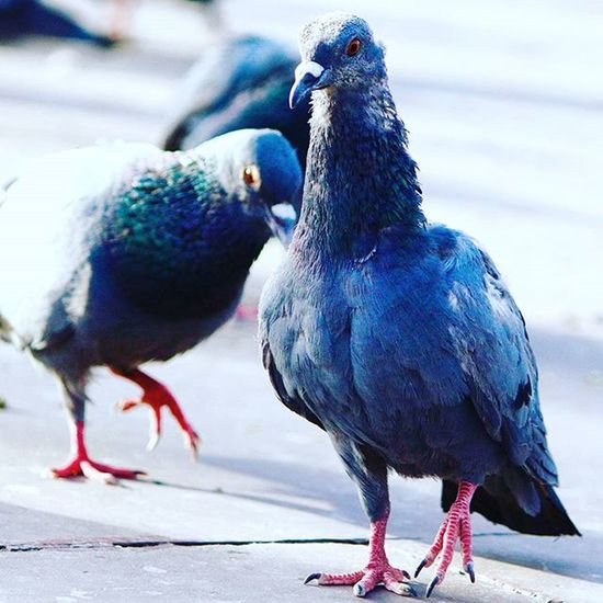 Fly high Pigeons Pigeon Keepcalmandclick Canon Canon_official Picman Picoftheday Canonphotography Canon700D Lovetoclick Instagraphy Instagram Instamood Instapic Followme Like4like Likeforlike Ngcwild NGC Amerfortjaipur Jaipur Jaipurcityblog Jaipurdiaries Jaipurlove India :)