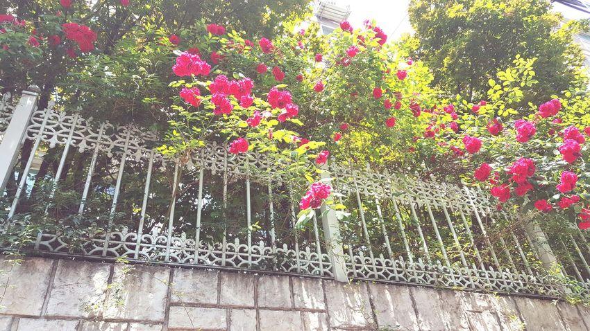 Rosé Flower 꽃 장미
