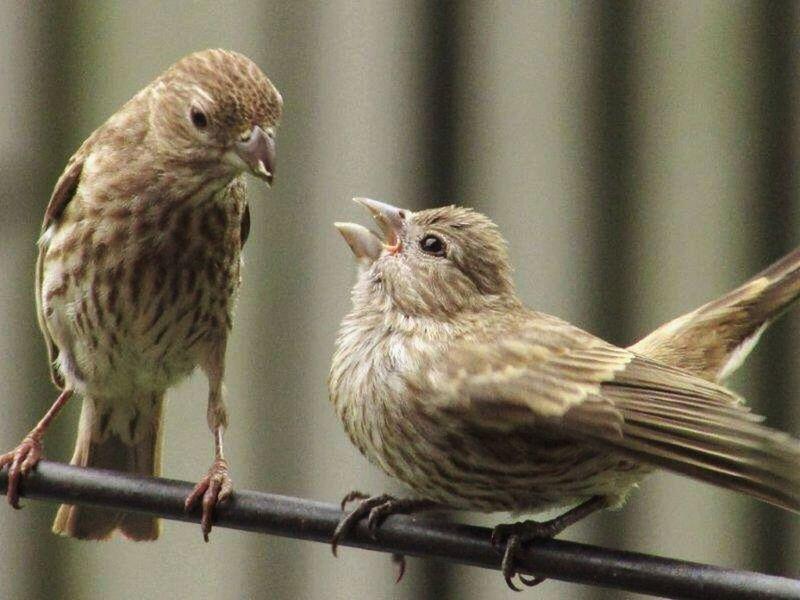 House Finch Finch Feeding  Mother & Daughter Wildlife & Nature Birds Bird Photography