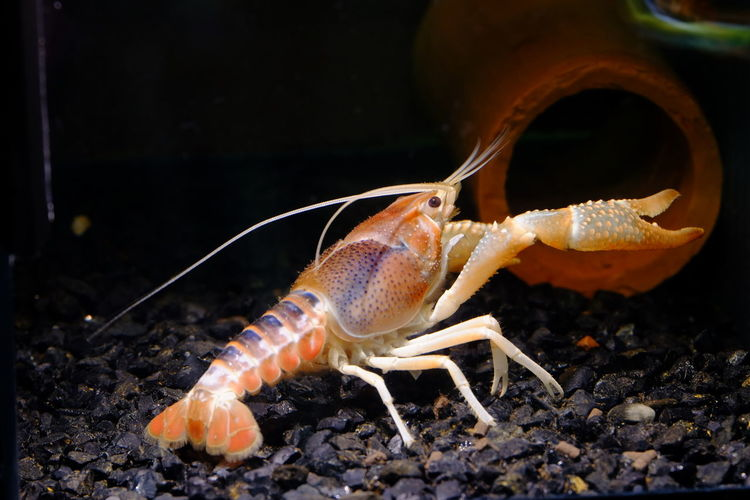 Crayfish in sea