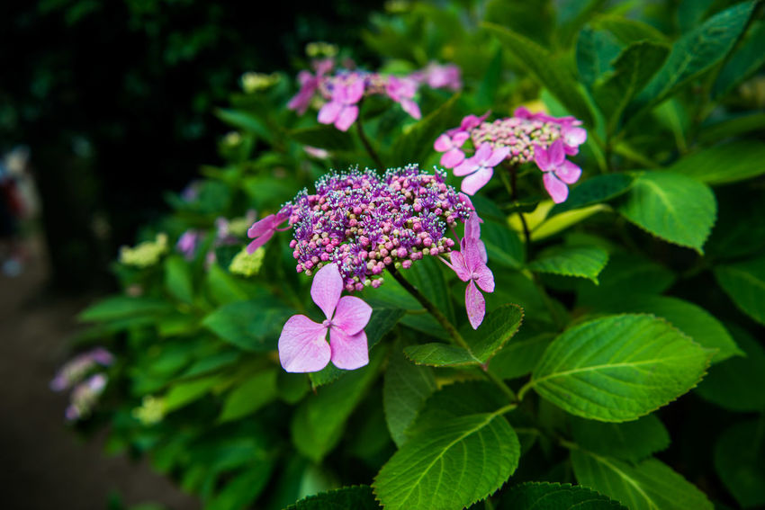 Hydrangea Hydrangea And Green Hydrangea And Roses Hydrangea Arborescens Hydrangea Blue Hydrangea Bouquet Hydrangea Bouquet With Red Gerbera Daisies Hydrangea Bush Hydrangea Collection Hydrangea Festival Hydrangea Flower Hydrangea Genus Hydrangea In Autumn Hydrangea In Bloom Hydrangea Macrophylla Hydrangea Macrophylla Hortensie Hydrangea Paniculata Hydrangea Quercifolia Hydrangea Serrata Hydrangea. Hydrangeaceae HYDRANGEAIMBLOOM BEAUTIFULWHITEBLOOMS Hydrangealeaf Hydrangeas Hydrangeas In The Forest