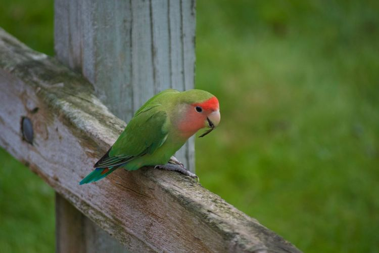 Animal Themes Animal Wildlife Animals In The Wild Beauty In Nature Bird Close-up Day Focus On Foreground Green Color Nature No People One Animal Outdoors Parrot Perching Tree Wood - Material