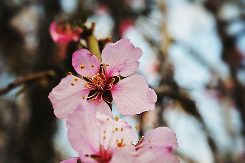 Flowers Spring Fiori Pesco Fiorito Nature Natura
