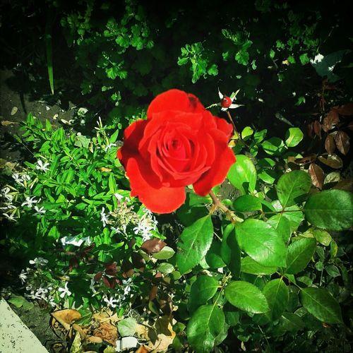 Red Rose Beautiful