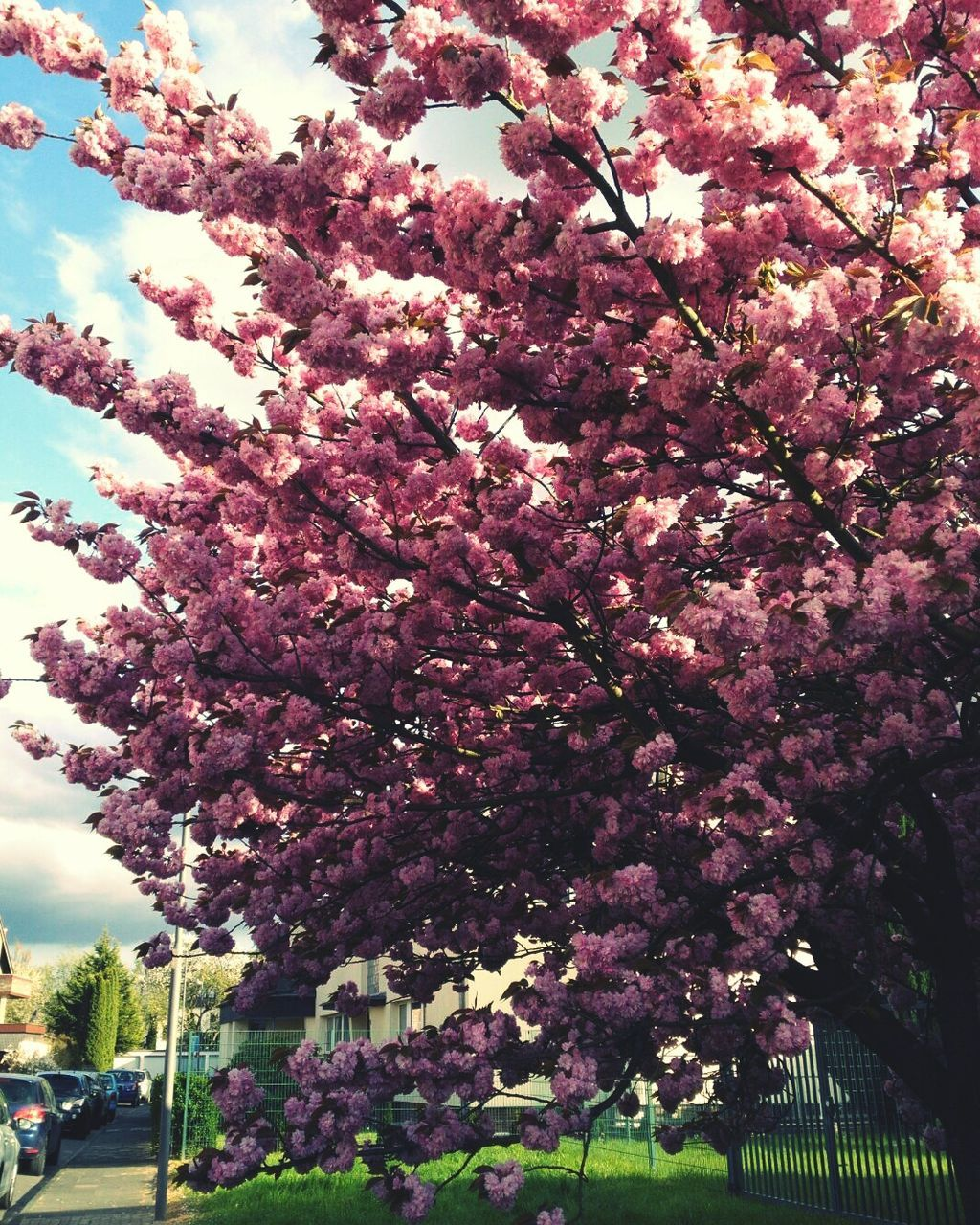 tree, blossom, flower, cherry blossom, growth, nature, beauty in nature, cherry tree, springtime, pink color, fragility, freshness, branch, day, no people, outdoors, sky, low angle view, blooming
