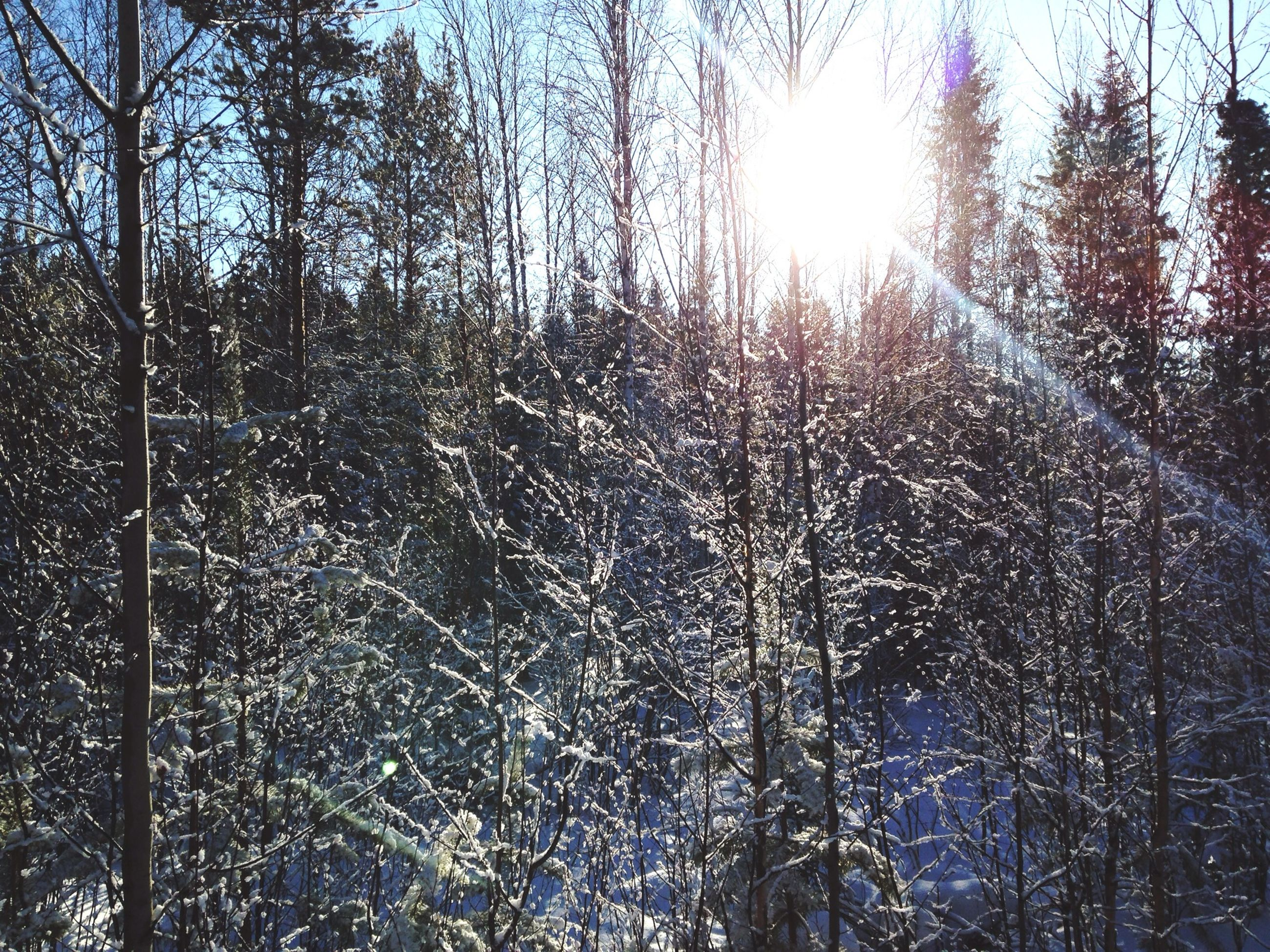 tree, bare tree, sun, winter, lens flare, sunlight, nature, branch, sunbeam, low angle view, tranquility, cold temperature, clear sky, growth, snow, beauty in nature, outdoors, sky, day, season