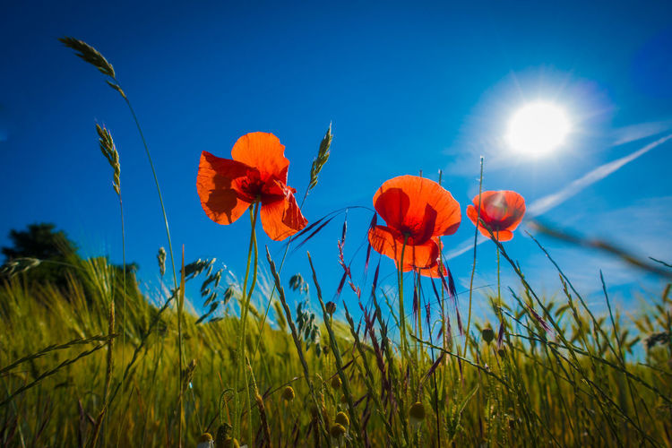 Plant Beauty In Nature Growth Sky Flower Flowering Plant Nature Freshness Field Land Close-up Vulnerability  Poppy Petal Fragility Blue Inflorescence No People Flower Head Plant Stem Outdoors
