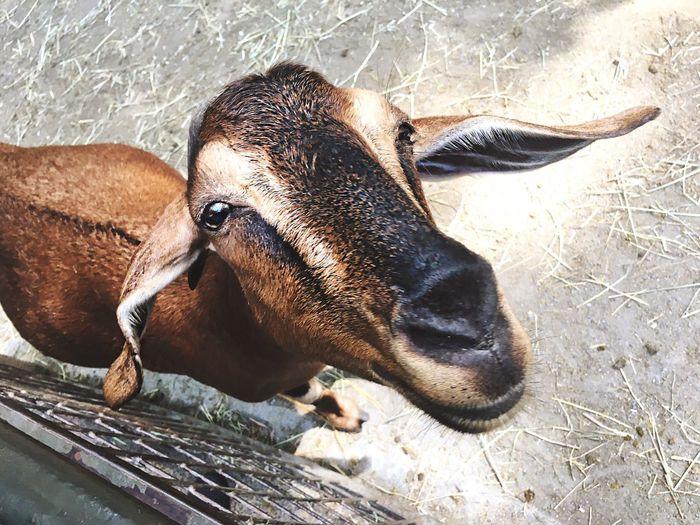 Goat! Animal