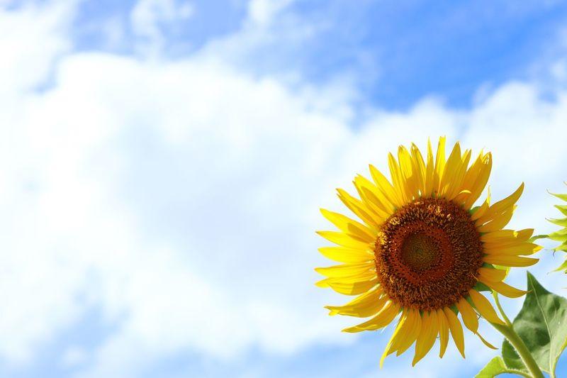 Summer!!! 🌞Day😍 Sunnyday Zama Japan Sunflower Yellow Flower Flowering Plant Sky Beauty In Nature Nature Plant Sunflower