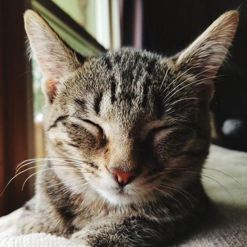 Maggie Mae Bigears Softkittywarmkitty Babycat Softness Looking At Camera Tabby Cat Tabby Kitten