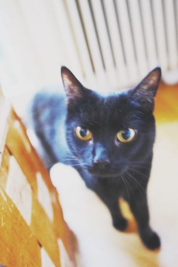 Domestic Cat Feline Pets Domestic Animals One Animal Animal Themes Mammal Cat Whisker Portrait Indoors  Looking At Camera No People Home Interior Sitting Close-up Siamese Cat Day Curious Indoors  Kitten Black Cats Pet Curiosity Black