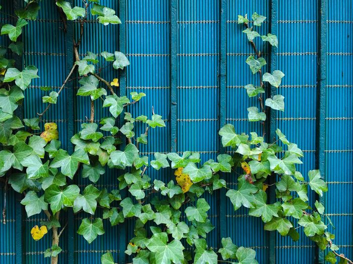 Ivy plants growing by wall