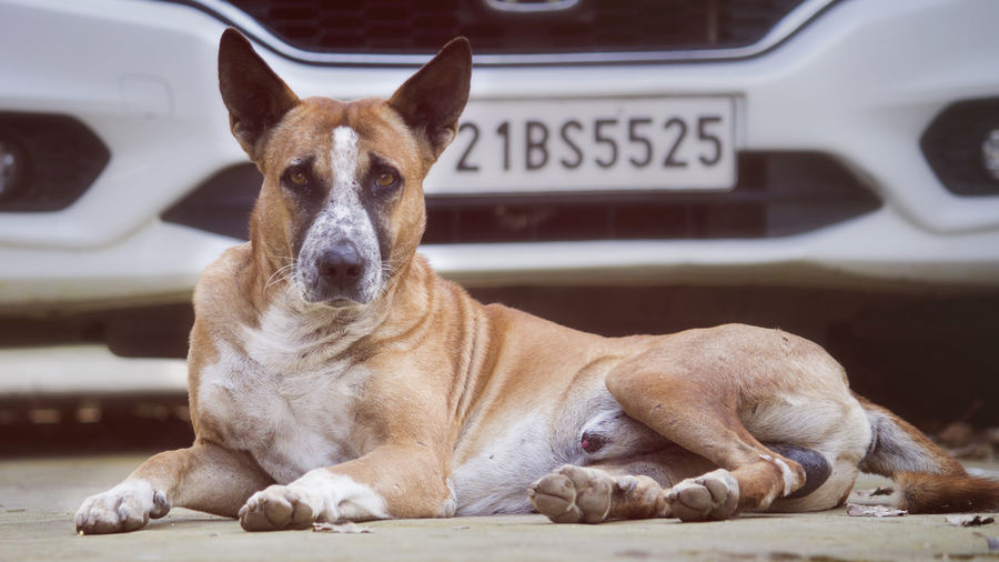 Portrait of dog resting outdoors
