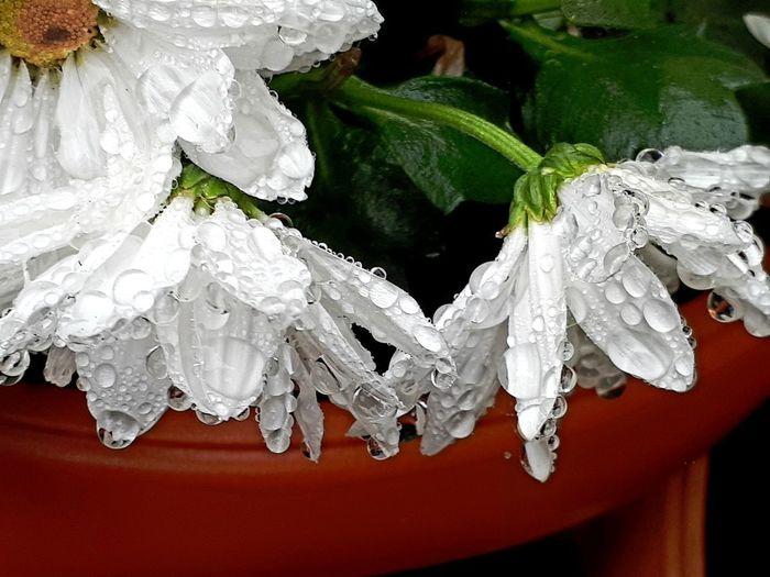 Raindrops White