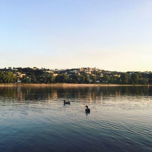 Ducks swimming in lake against clear sky