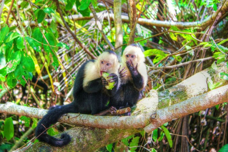 White Faced Capuchin Monkeys in Manuel Antonio National Park, Costa Rica. Monkey Nature Nature_collection Outdoors EyeEm Nature Lover Nature Photography Animals Animal_collection Animal Photography Manuel Antonio Nationalpark Costa Rica EyeEm Best Shots - Nature The Moment - 2015 EyeEm Awards Friends