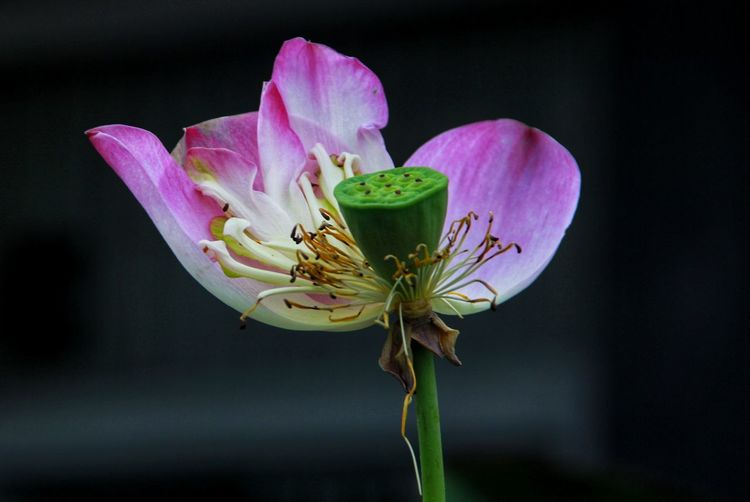 Flower Flower Pink Color Flower Head Petal Fragility Close-up Plant Nature Beauty In Nature