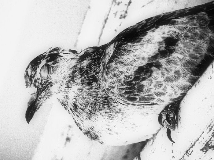 Animal Themes One Animal High Angle View Animal Head  No People Zoology Black And White Still Life Nature Fine Art Close-up City Life Life In Motion Attraction Pigeon Lovepigeons New Life Fragility At Home Macro Animals Home Monochrome Photography