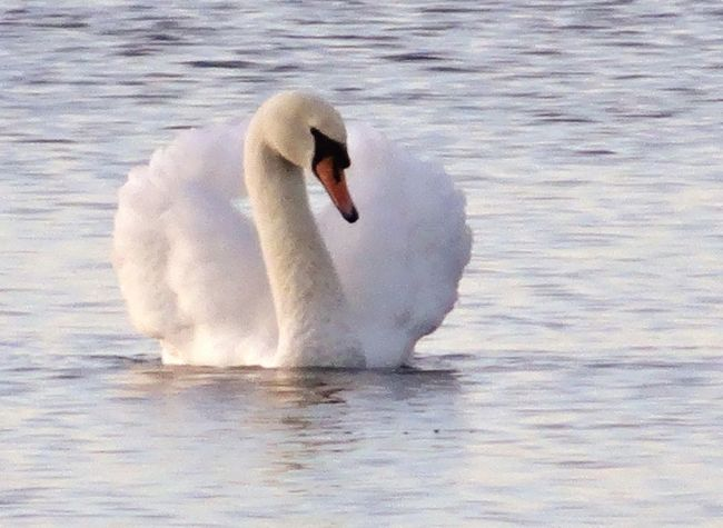 lady of the lake Swan Aqualate Mere Staffordshire Single Swan Animals In The Wild One Animal Swan Animal Wildlife Animal Themes Bird Animal Water Water Bird Nature Motion No People Outdoors