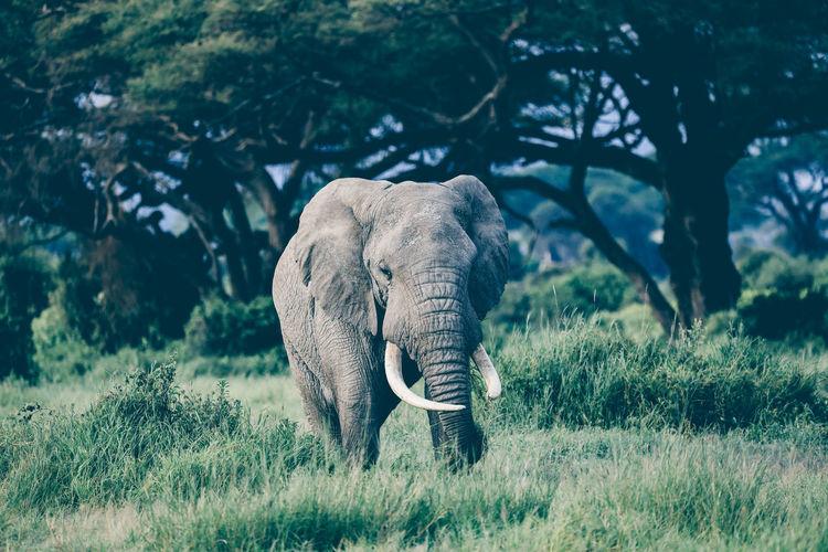 Elephant in amboseli national park, kenya, africa