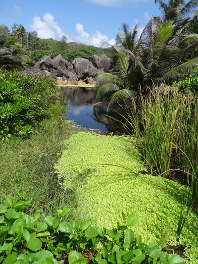 Water Plant Nature Green Color Growth Outdoors Beauty In Nature Scenics Grass Tree No People Clear Sky Seychelles Adventure Tranquility Ladigueisland Ladigue Seychelles Islands Idyllic Nature