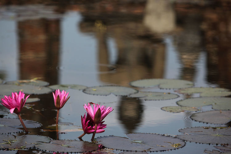 Beauty In Nature Blooming Blossom Close-up Day Flower Flower Head Focus On Foreground Fragility Freshness Growth In Bloom Nature No People Outdoors Petal Pink Color Plant Pond Season  Stem Tranquility Water