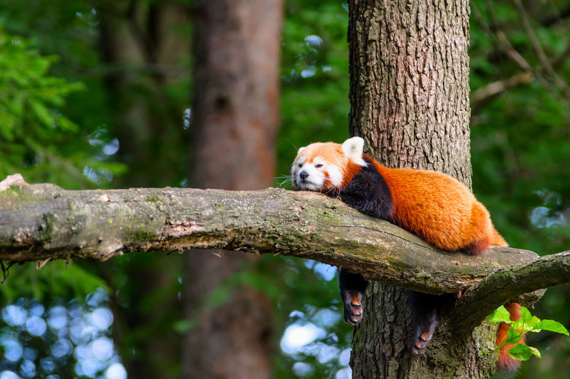 Low Angle View Of Red Panda Relaxing On Tree Trunk
