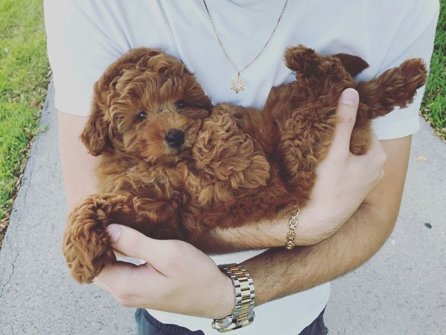 Kiwi the pup Dog Lover Adorable Cute Young Goldendoodle Canine Animal Puppy Dog One Person Real People Lifestyles Leisure Activity Human Hand Midsection Hand One Animal Holding Mammal Women Day Canine Dog Pets Human Body Part Domestic Animals Teddy Bear Pet Owner Finger