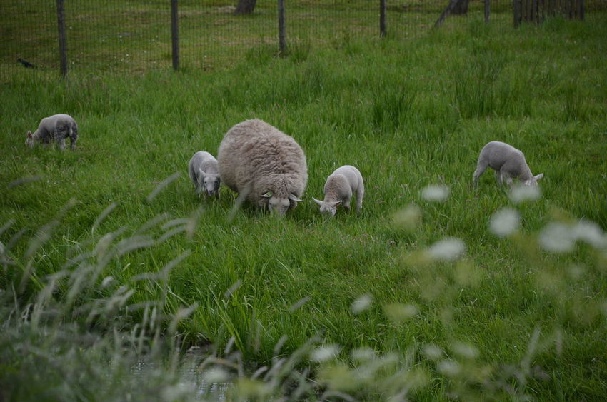Farm Farm Life Grass Grazing Green Kinderdijk Lambs Netherands Sheep Wool