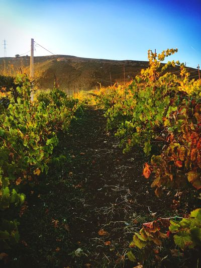Plant Growth Nature No People Outdoors Day Landscape Clear Sky Beauty In Nature Sky EyeEmNewHere EyeEm Nature Lover Villafrati Sicily Autumn Grapes Grapefruit