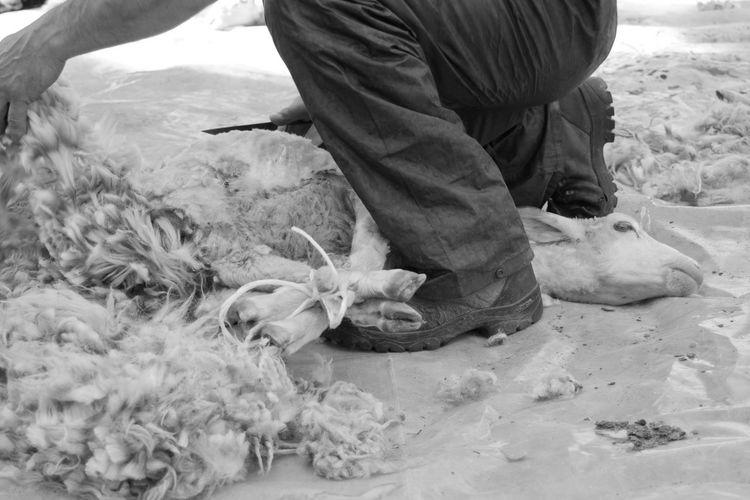 Tradition Domestic Animals Mammal Old Job  Sardinia Shearing Shearing Sheep Sheep Sheep Shearing Sheep Shears Traditional Wool