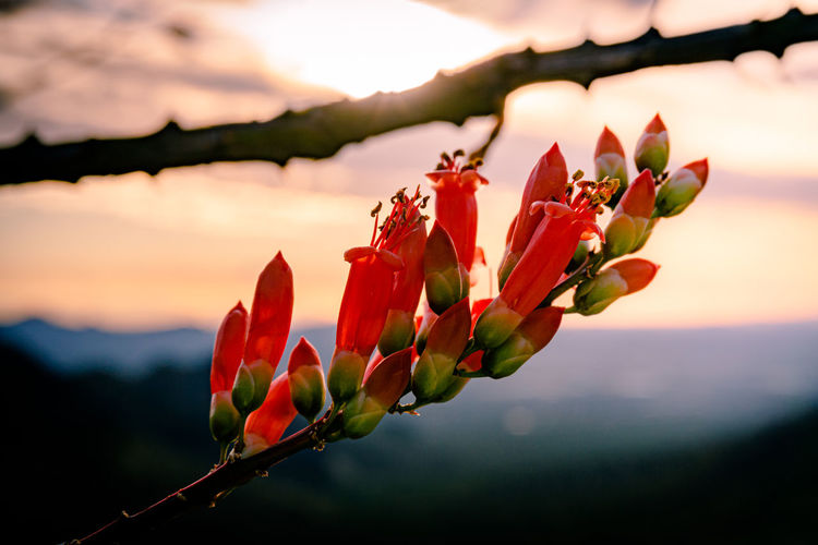 Close-up of red flowering ocotillo cactus against sunset