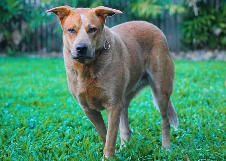 Alertness Animal Head  Curiosity Dog My Dog Is Staring At Me Pets Red Cattle Dog Relaxing Zoology