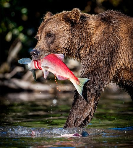 Grizzly with salmon One Animal Animal Themes Animals In The Wild Water Close-up Focus On Foreground Animal Head  Zoology Nature Outdoors Red No People Beauty In Nature Animal Grizzly Bear Alaska Salmon Roe SalmonFishing Lake Clark National Park
