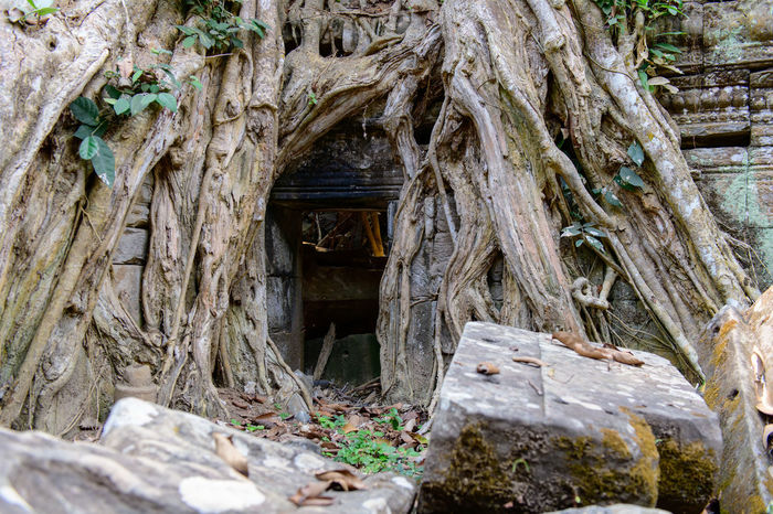 Ancient Cambodia Siem Reap Ta Prohm Architecture Building Exterior Built Structure Civil Civilization Close-up Day Growth Nature No People No People, Old Ruin Outdoors Tree Tree Trunk